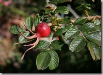 Rose hip from Rosa rugosa 'Fran Dagmar Hastrup' at Fickle Hill Old Rose Nursery