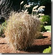 Post image for Pruning Miscanthus Grass: How to Cut Back Big Ornamental Grasses