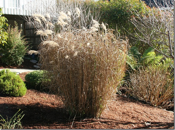 When To Cut Ornamental Grasses Pruning miscanthus grass how to cut back big ornamental grasses dormant miscanthus grass before cutting back workwithnaturefo