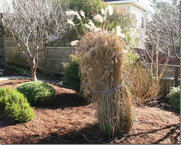 Dormant Miscanthus ornamental grass tied up in preparation for pruning