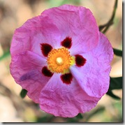 Cistus by Randy Son of Robert on Flickr