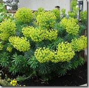 Euphorbia photo by wlcutler on Flickr
