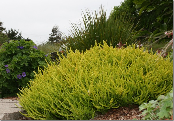 Golden Calluna
