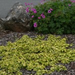Coastal Gardening: Groundcover Plants for the Sea Coast