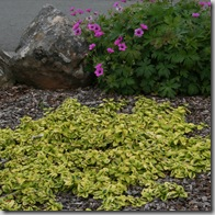 Post image for Coastal Gardening: Groundcover Plants for the Sea Coast