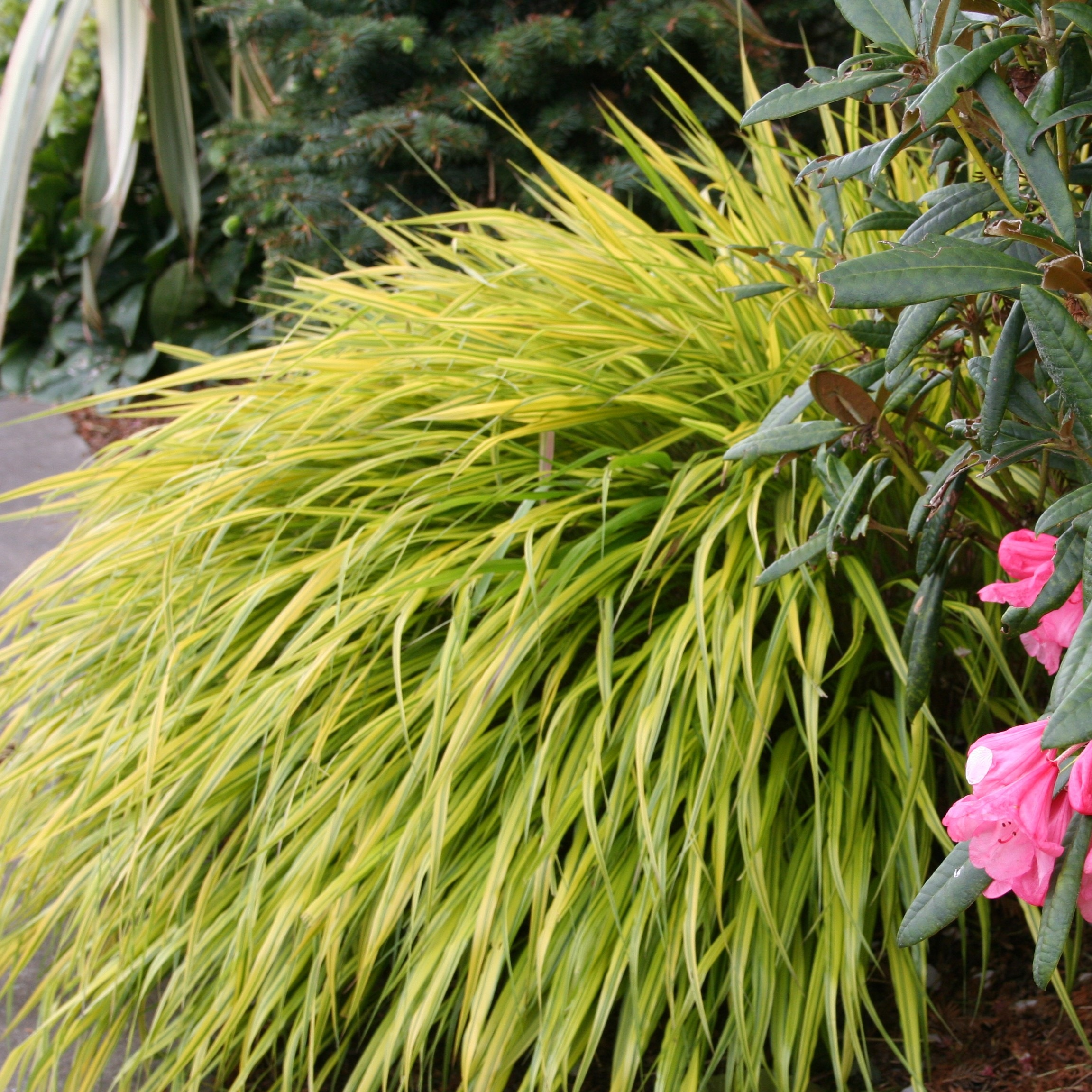 Coastal gardening shade loving plants for the sea coast for Tall oriental grass