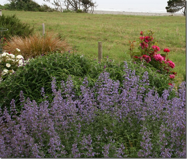Sea Coast Gardening - planting of catmint in McKinleyville