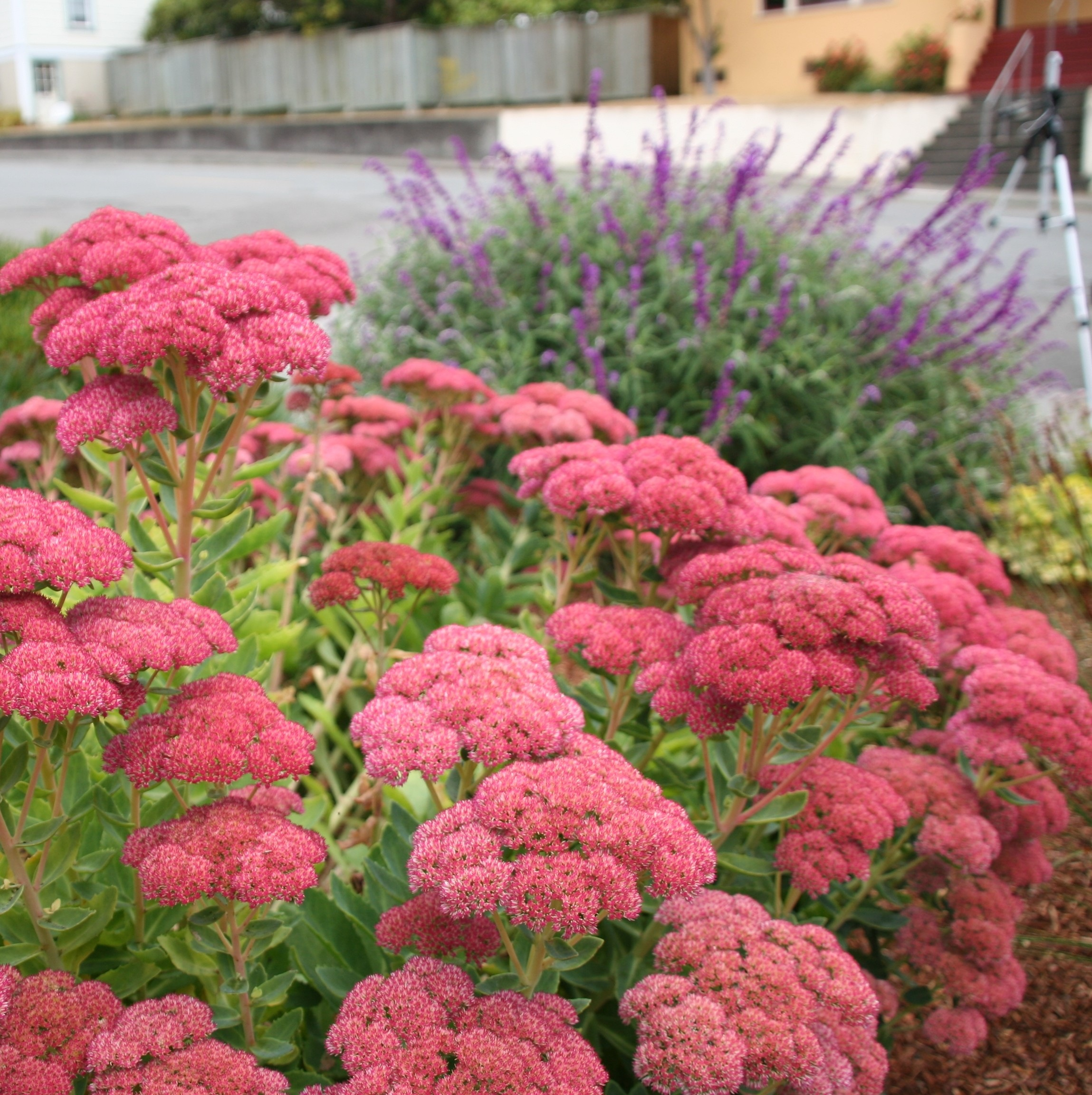 Coastal Gardening Perennial Flowers For The Sea Coast North
