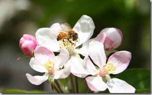 Post image for Honeybee Love: Keeping Honeybees Safe While Using Pesticides