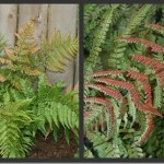 Plants to Love: Autumn Fern (Dryopteris erythrosora)
