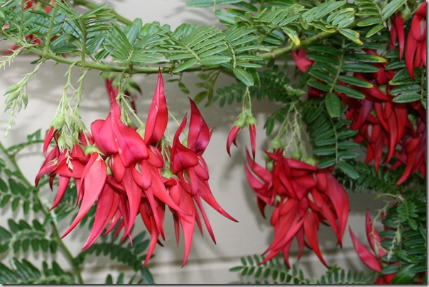 Clianthus puniceus Flowers