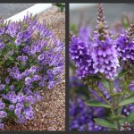 Plants to Love: Purple Pixie Hebe (Hebe 'Mohawk' or 'Purple Pixie')