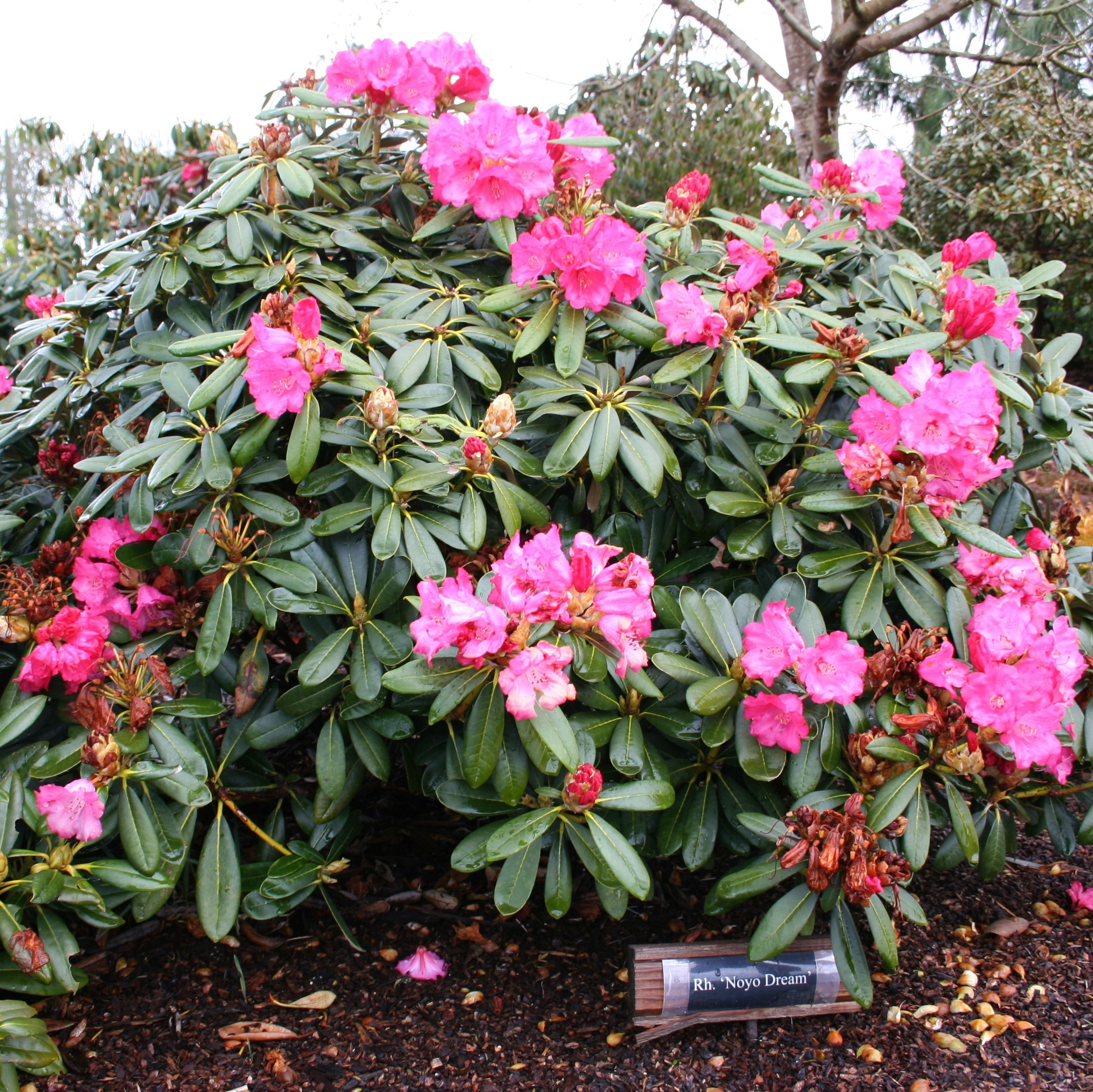 bulletproof rhododendrons rhodies for sea coast wind and. Black Bedroom Furniture Sets. Home Design Ideas
