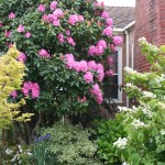 Bulletproof Rhododendrons: Rhodies for Sea Coast Wind and Other Tough Conditions