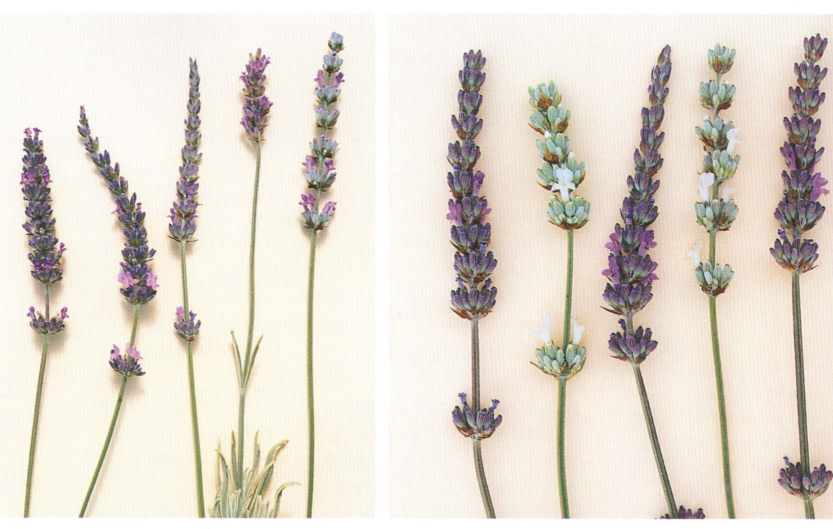 book review of lavender  the grower u0026 39 s guide by virginia mcnaughton  u22c6 north coast gardening