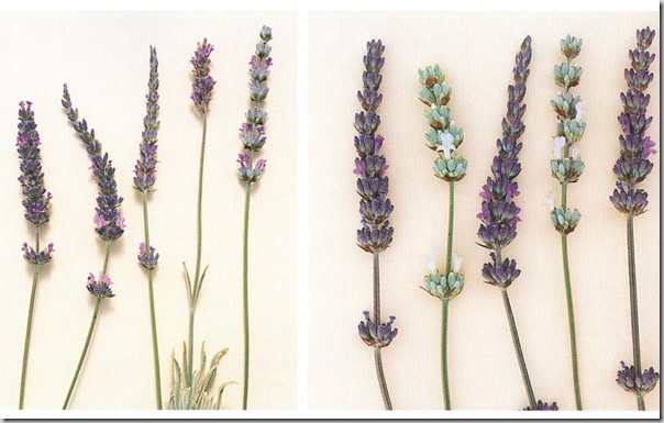 Lavender The Growers Guide by Timber Press photo copyright Timber Press