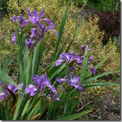 Native Douglas Iris