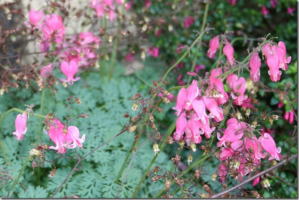 Native bleeding hearts