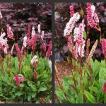 Plants to Love: Dwarf Fleeceflower (Persicaria affinis 'Dimity')