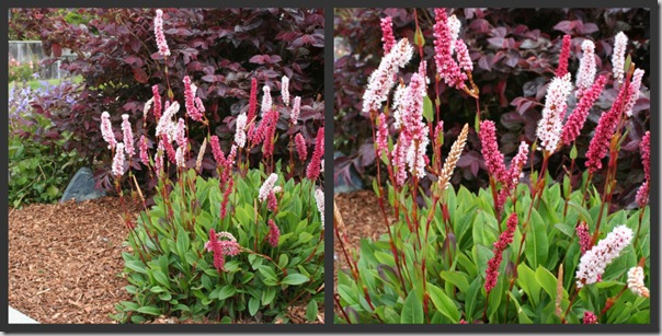 Post image for Plants to Love: Dwarf Fleeceflower (Persicaria affinis 'Dimity')