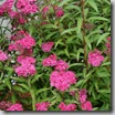 Thumbnail image for Plants to Love: Neon Flash Spirea (Spirea 'Neon Flash')