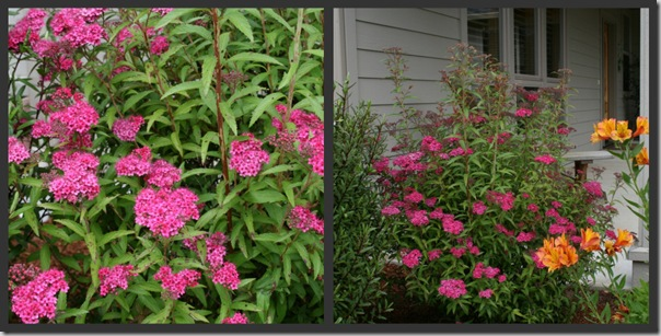 Post image for Plants to Love: Neon Flash Spirea (Spirea 'Neon Flash')