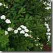 Thumbnail image for Plants to Love: Snowmound Spirea (Spirea x nipponica 'Snowmound')