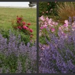Plants to Love: Purple Catmint (Nepeta faassenii)