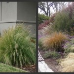 Plants to Love: Mexican Feather Grass (Nassella tenuissima/ Stipa tenuissima)