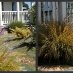 Plants to Love: New Zealand Wind Grass (Stipa arundinacea/ Anemanthele lessoniana)