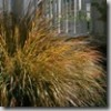 Thumbnail image for Plants to Love: New Zealand Wind Grass (Stipa arundinacea/ Anemanthele lessoniana)