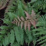 Ferns for Every Garden