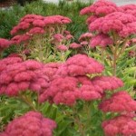 Floppy 'Autumn Joy' Sedum