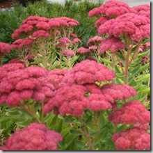 Post image for Floppy 'Autumn Joy' Sedum