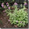 Thumbnail image for Color Echoes: Variegated Dwarf Weigela and Clifford Moor Red Catchfly