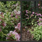 Color Echoes: Variegated Dwarf Weigela and Clifford Moor Red Catchfly