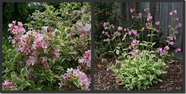 Variegated Weigela with Silene 'Clifford Moor'
