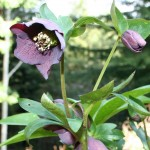 Hellebore Pruning: How-To and A Cautionary Tale