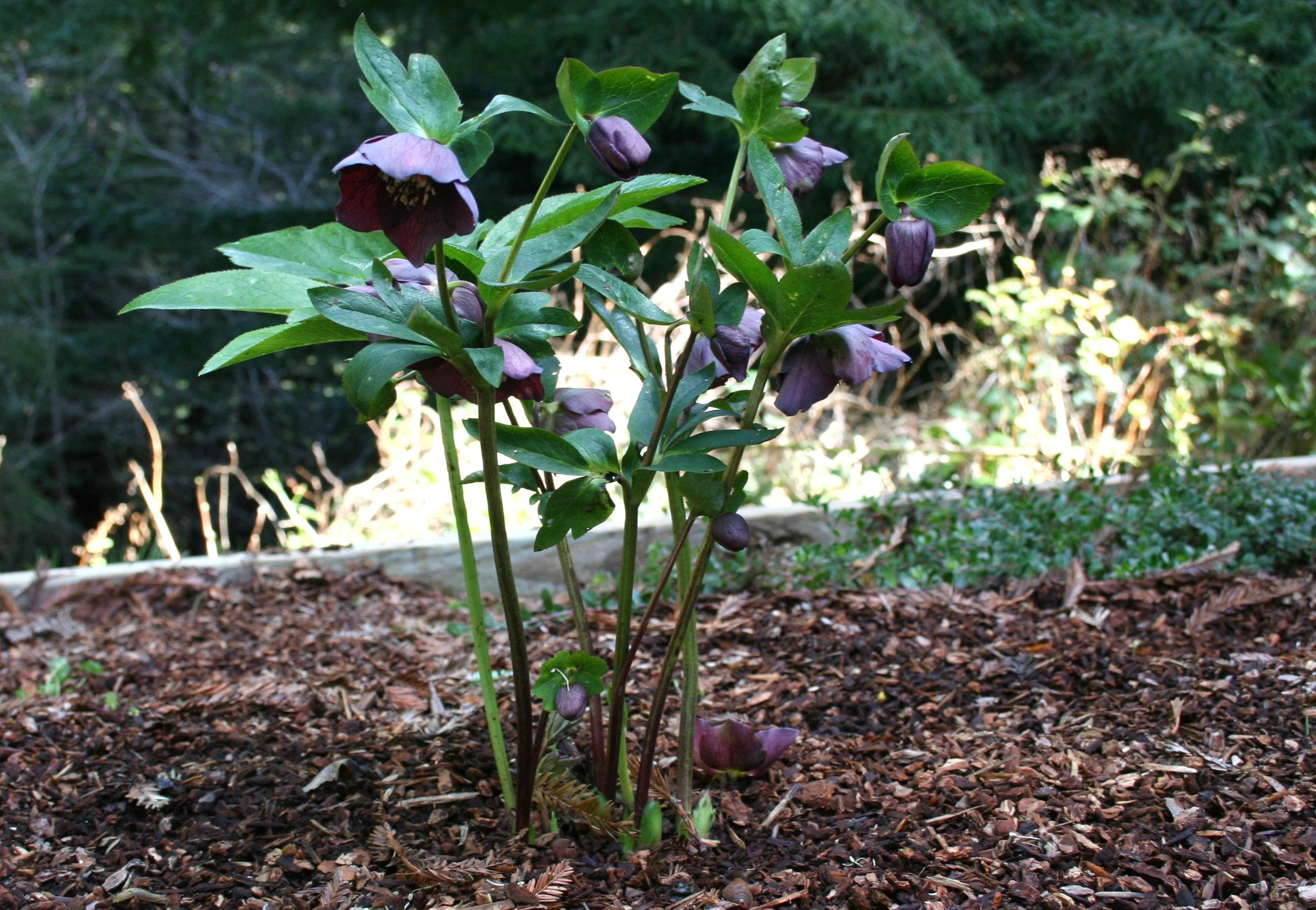 Hellebore Pruning How To And A Cautionary Tale North Coast