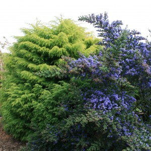 Ceanothus-and-Cryptomeria.jpg