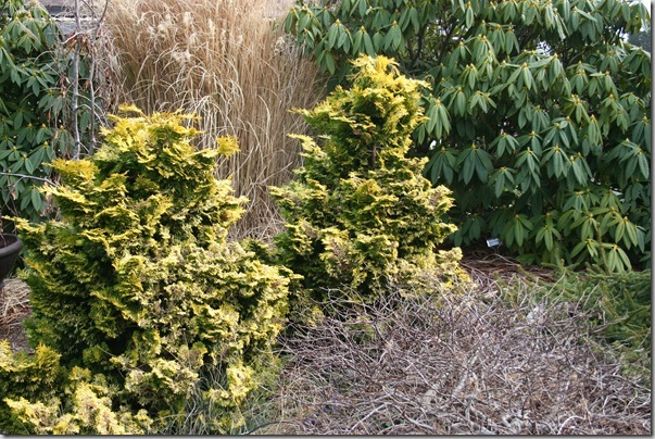 Golden conifers in the garden (3)