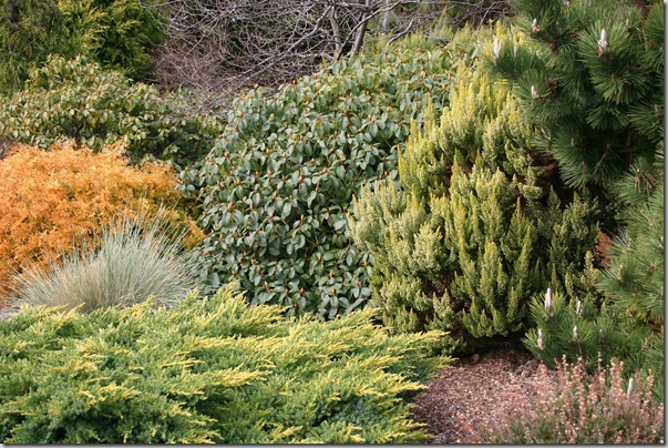 Golden conifers in the garden (5)