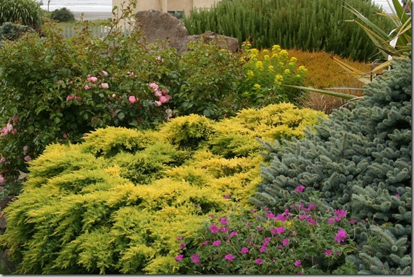 Golden conifers in the garden (7)