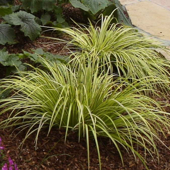Gardening under redwoods dealing with dry shade acidic for Yellow ornamental grass