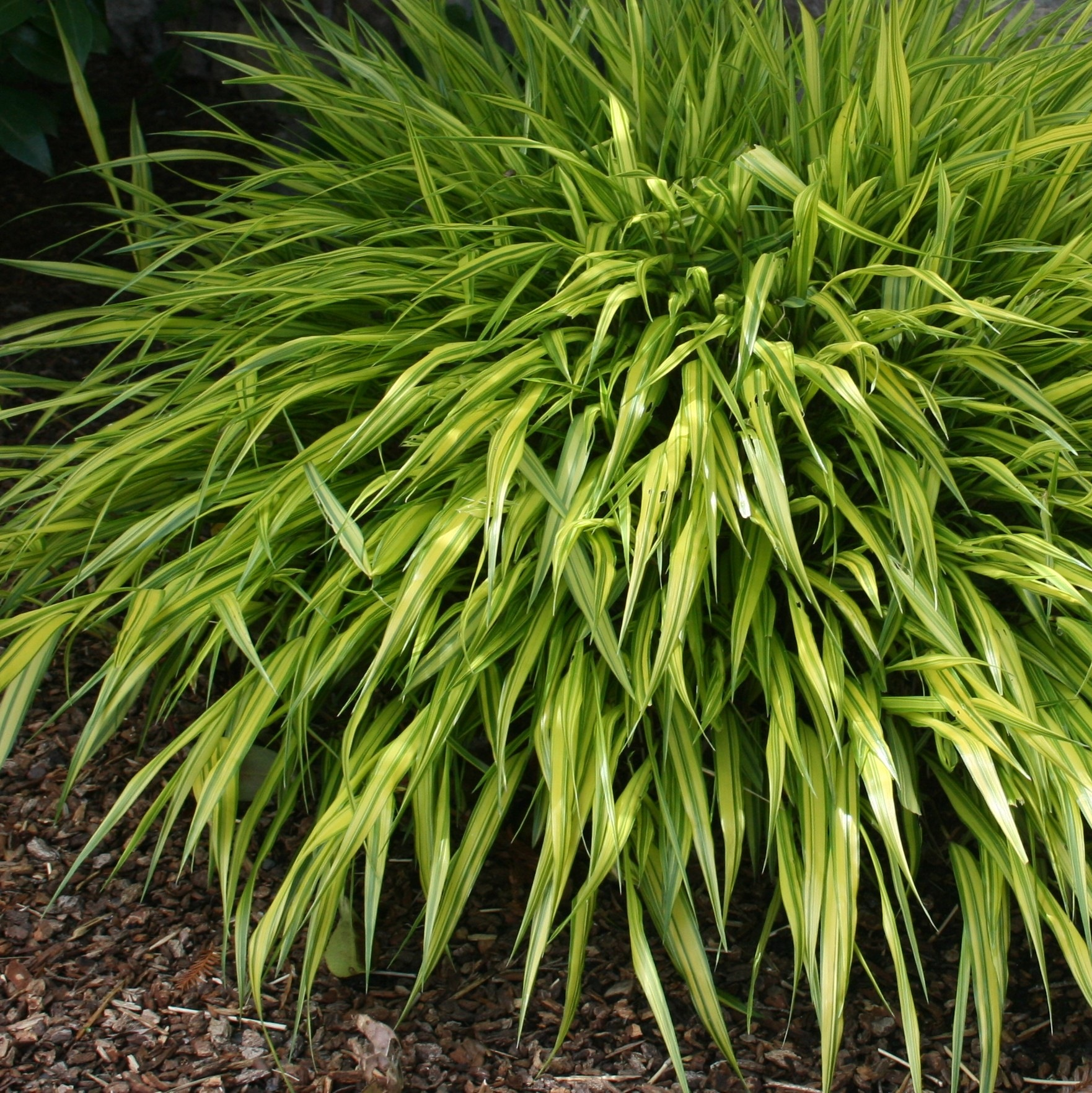 Gardening under redwoods dealing with dry shade acidic for Can ornamental grasses grow in shade