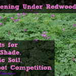 Gardening Under Redwoods: Dealing With Dry Shade, Acidic Soil, and Root Competition