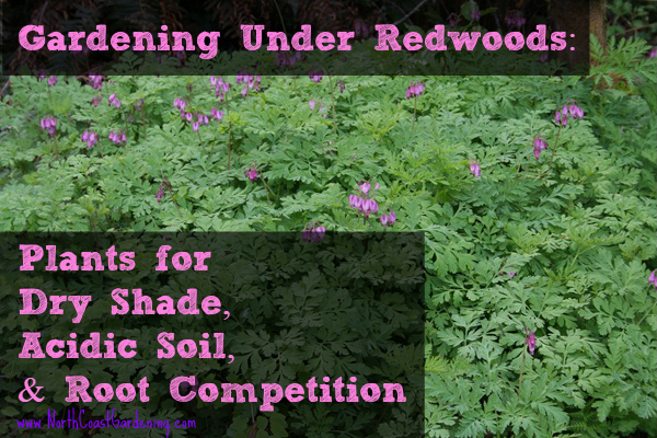 gardening under the redwoods