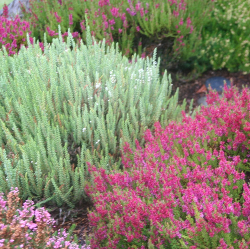 How to prune heather video