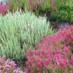 How to Prune Heath and Heather