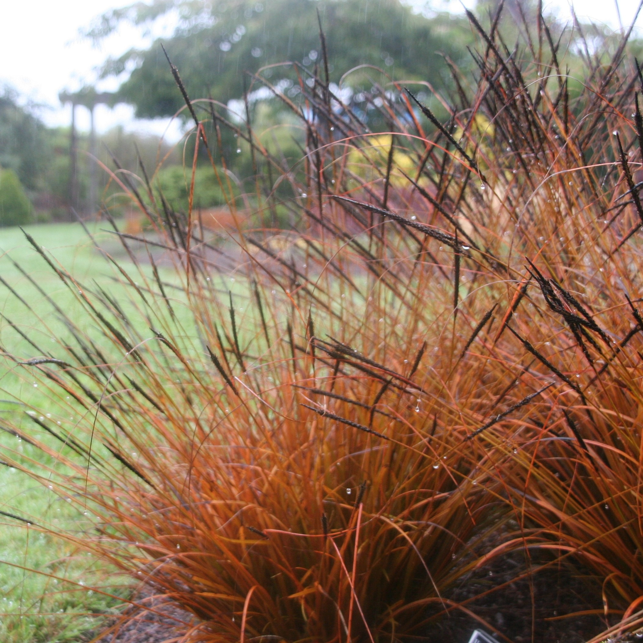 Deer resistant plantings you can 39 t f up north coast for Tall grasses for shade